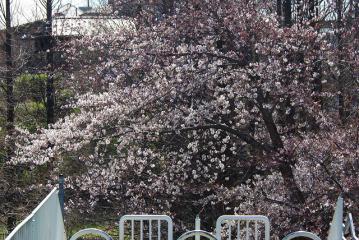 貝柄山公園の中央の階段の手前から撮った桜