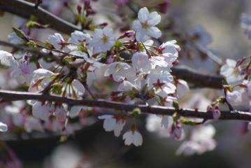 貝柄山公園の中央の階段の脇の桜