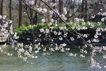 池の上の桜