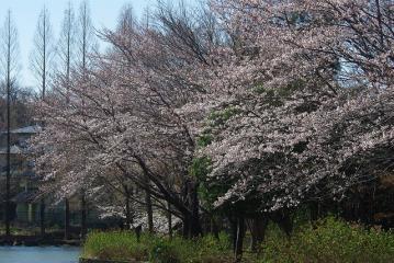 池と桜(横)