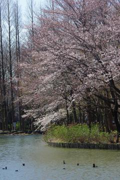 池と桜(縦)
