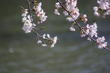 池の上の桜(UP)