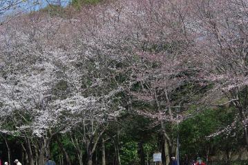 遠目に観た桜