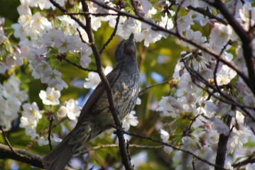 桜をつまむヒヨドリ