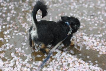 花弁の散る階段を下りるポコ