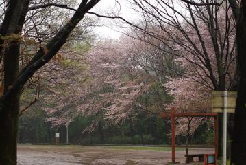 雨に煙る藤棚と桜