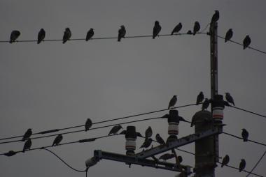 電線に集まったムクドリ