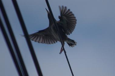 羽ばたくムクドリ