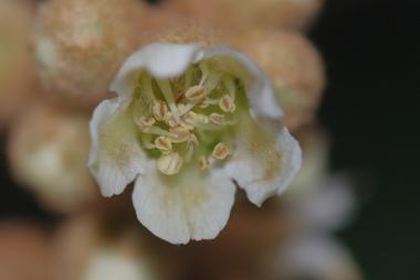 琵琶の花3