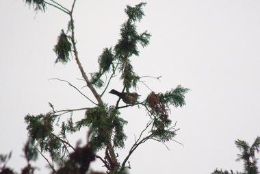 木の上のヒヨドリ