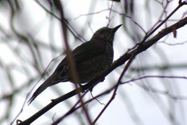 枝の中のヒヨドリ