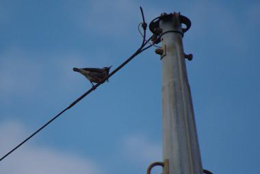 電柱のワイヤーに止まるムクドリ