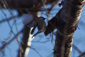 羽を広げたシジュウカラ