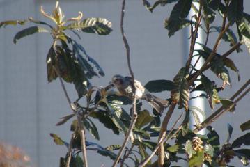 琵琶の枝のヒヨドリ