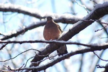 雪の枝に止まる鳩