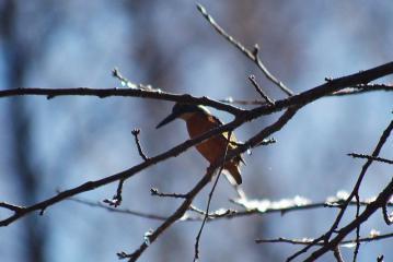 雪で濡れた枝越しのカワセミ