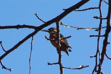 枝の向こうで遠くを見るカワセミ