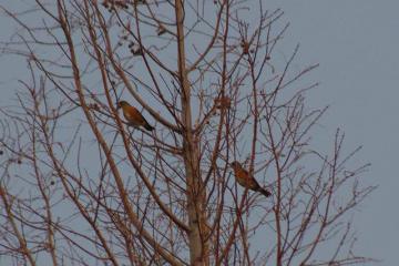 高い木の上のアカハラ