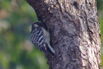 木を突いているコゲラ
