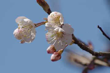 サクランボの花と蕾