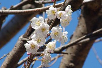 連なるサクランボの花