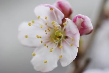 サクランボの花(斜め)