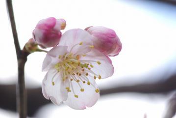 サクランボの花(前)