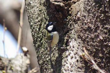 木を登るシジュウカラ