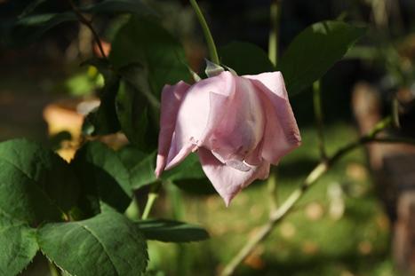 バラ ブルームーン