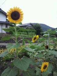 20110821ひまわり~~♪