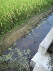 20110822稲~♪水抜き