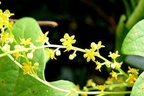 タチドコロの花♪