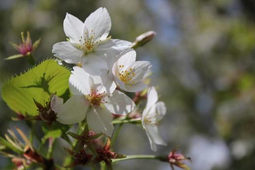 桜さくら♪