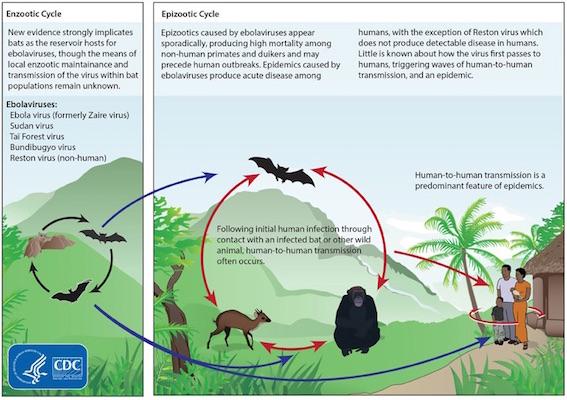 エボラウイルスの感染経路