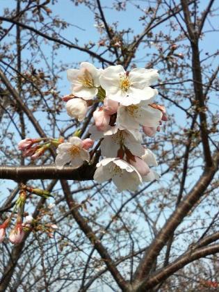 2007年さくら咲く