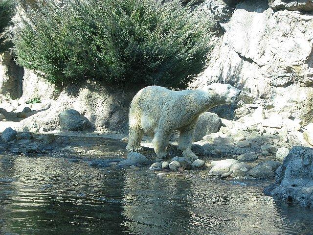 スーラシア 白熊