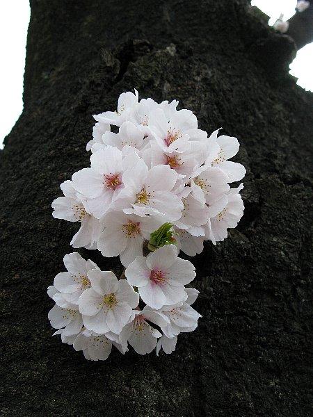 吹き出る桜