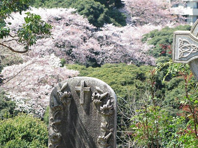 外人墓地 墓標とさくら