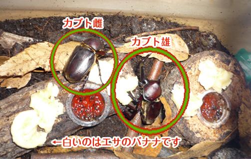 11-11カブト雄雌1