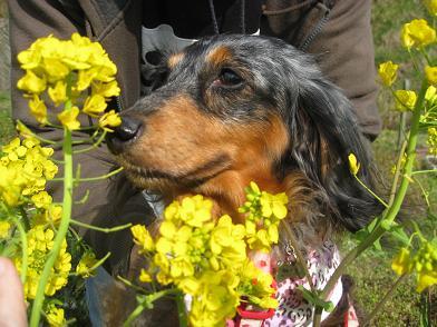 菜の花とみゆりん