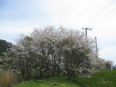 桜さんあと少し・・・・