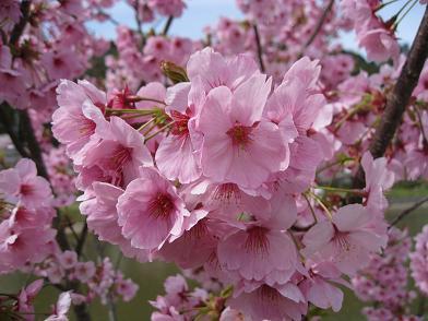 とっても綺麗な濃いピンク色