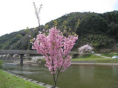 小さな桜さん