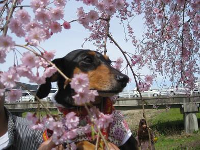 枝垂れ桜×姫