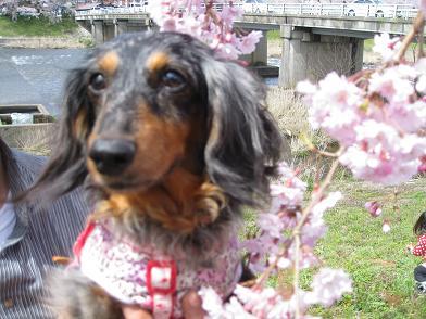枝垂れ桜×実結