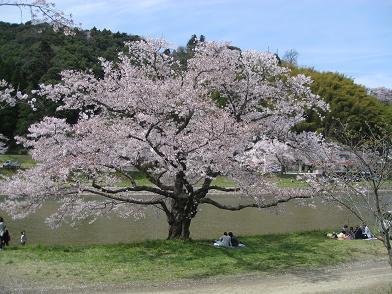 大きな桜さん
