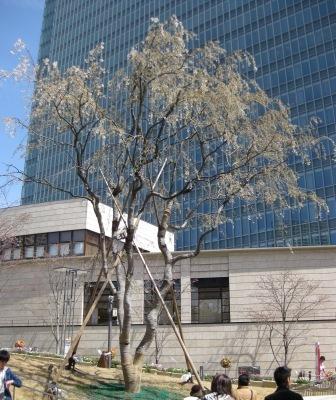 この三春桜は福島県三春町の滝桜の子孫樹です♪