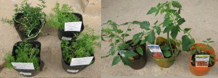 ハーブ2種類とミニトマト3種類!