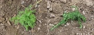 カモミールとローズマリも地植え完了!