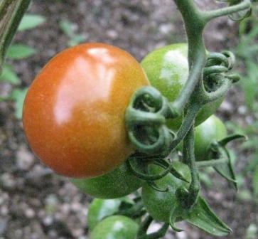 赤のミニトマトも色づいてます!